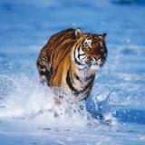 Шторка для ванной, ткань полиэстер с утяжелит, 180x180cм, фотопечать, Тигр